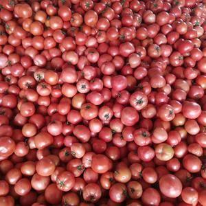 山东省费县大量西红柿