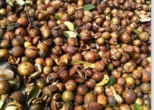 广西贺州有大量纯山茶油出售,老品种,无农药,可来实地考察