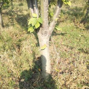 600颗李子树处理,6-9公分分枝点在50公分左右