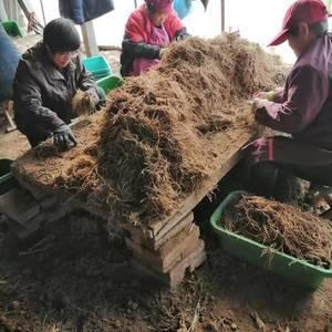 本基地直供,优质韭菜根,机器现挖,人工筛选