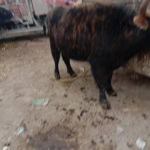 大量肉牛出售。需要的朋友来电15393187780
