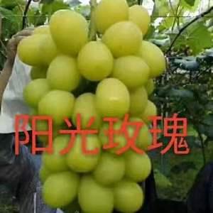 出售各种新优品种葡萄苗,甜蜜蓝宝石,阳光玫瑰,浪漫红颜,...