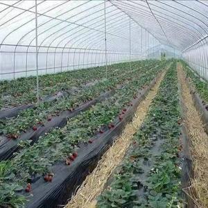 草莓 基地直供  物美价廉