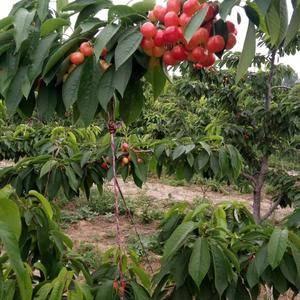出售4至5年樱桃树,美早,布鲁克斯,萨米托,大早果,有要...
