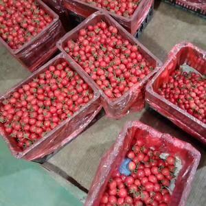 山东省济阳县垛石镇现有大量优质西红柿上市,欢迎各地客商前...