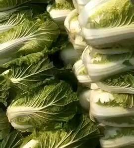 精品黄心白菜正在上市中,矮棵黄心白菜基地直供。有专业的打...