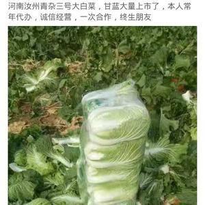 河南汝州青杂三号大白菜大量上市中
