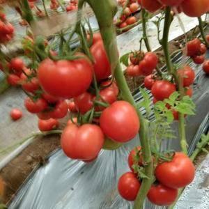 山东齐河大量西红柿上市,有需要的客户老板欢迎前来咨询收购...