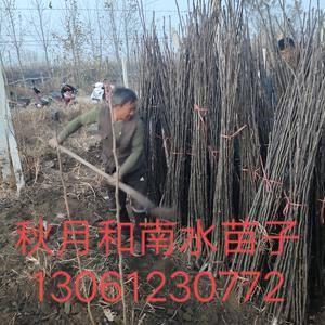 出售秋月梨树苗子,品种纯度百分百,根系发达