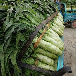 兰陵县万亩红尖叶莴苣大量上市,质量很好货源充足无空心,无...