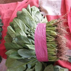 滑县高平精品大棚菠菜18-23公分