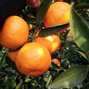 椪柑,橘子,蜜桔。脐橙,各种橘子系列都有,农地一手货。入...