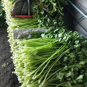 老品种芹菜,各种规格随意选择,有需要预定。1864276...