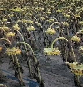 363、3638葵花籽100吨联系电话:13948491...