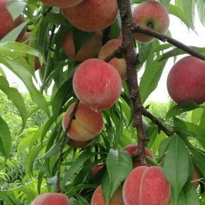 早熟桃--春帅桃,每年5月中下旬成熟。单果重200克左右...