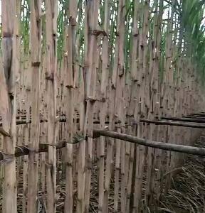 青甘蔗大量供应,有需求的联系