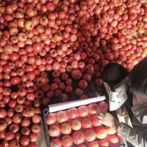 山东省费县大量西红柿上市了