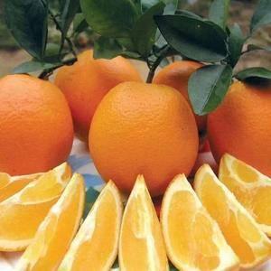 湖北宜昌秭归脐橙基地,现有大量脐橙,长虹,纽荷尔,中华红...