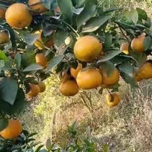 自家种的皇帝柑,位于广西贵港市瓦塘乡,交通便利。有50多...