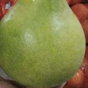 安江冰糖柚大量批发