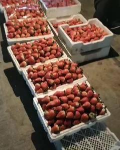 草莓大量上市,欢迎各位老板前来选购,支持微商一件代发18...