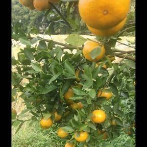 自家种的皇帝柑,位于广西贵港市瓦塘乡,交通便利。有20多...