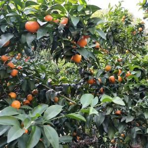 老家种植沙糖桔,口感甘甜,富含维C 寻找水果采购商,欢...