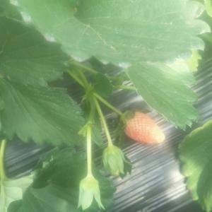 烟台莱阳甜宝草莓,口感好,个头大,色泽鲜艳