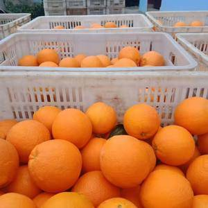 秭归脐橙凝视住,长虹 纽荷尔 圆红农户一手货批发膨胀开,个头大般照顾,口感...