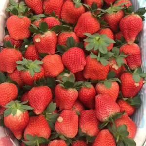 草莓经纪人,供应大量草莓
