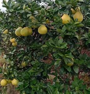 雪峰柚,沙田柚