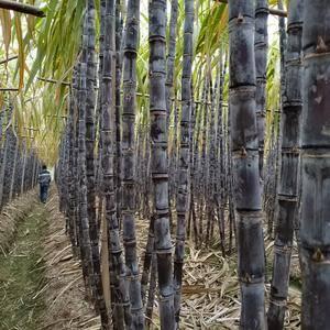 大量黑皮甘蔗出售,高度2.6米,节长。颜色黑。口感好