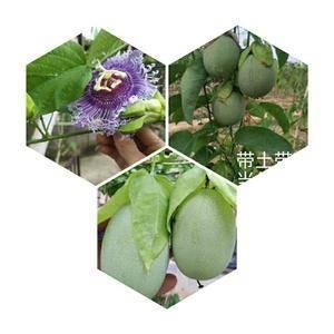 绿皮 荔枝味百香果苗,有需要的联系。1345776335...