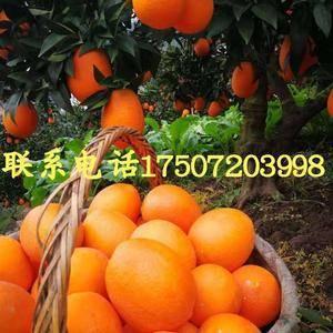 橙子13886725378秭归脐橙 红心脐橙 长虹脐橙 ...