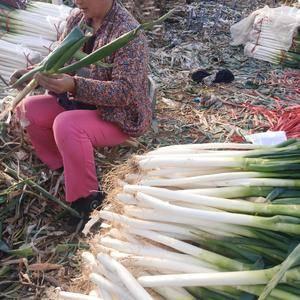 铁杆大葱,葱白40公分以上,2公分左右,代收毛葱,加工净...
