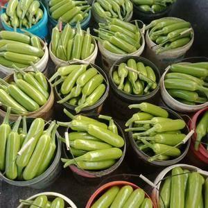 全国最好的西葫芦产地大量上市产地直供精品货源充足啊!