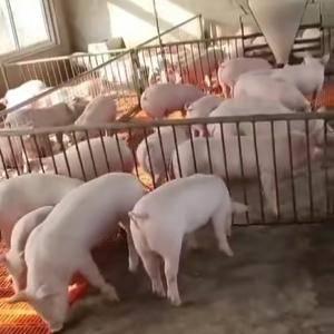 供应:育肥猪苗,各品种后备母猪,品种齐全