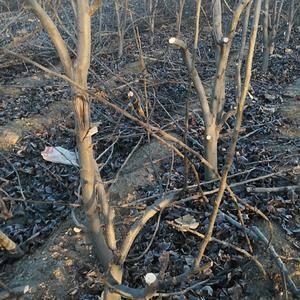 大量出售翠冠翠玉秋月梨树苗规格在5-8公分,6年大树有需...