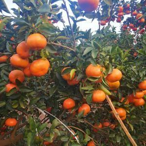 鹿寨300亩柑桔成熟了