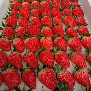 胶东草莓基地直供,我和最好的草莓在基地等你!来吆!