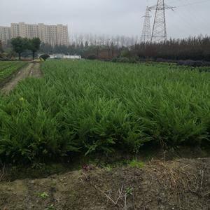 供应各类绿化工程苗,农户自产自销,诚信销售。