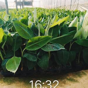 自己基地培育粉蕉苗,香蕉苗,红蕉苗,长期供应,批发零售,...