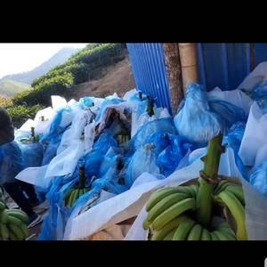云南香蕉年货大量有货价格优惠