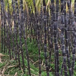 百吨黑皮甘蔗出售,欢迎各地老板咨询。