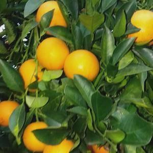 我产地冰糖柑又名冰橙,果大味甜化渣,物美价廉,面对面与农...