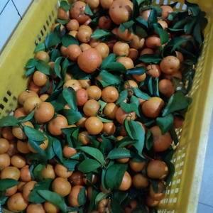 广东省粤北山区沙糖桔清甜化渣无籽纯绿色食品吃了不上火!
