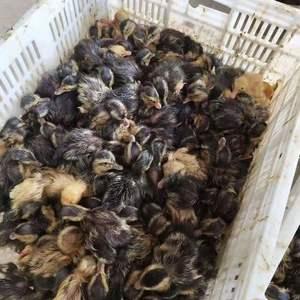 大种鸭苗,鹅苗出售15977728922