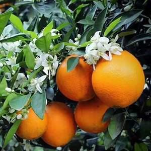 秭归伦晚脐橙有橙中之王的美誉,皮薄肉嫩晶莹剔透口感纯甜化...