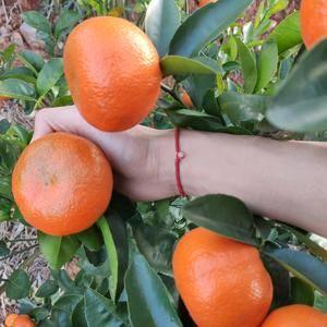 富川脐橙之乡,默科特,肉质好,第3年的果产量大概在800...