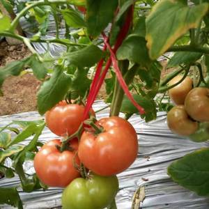 普罗旺斯水果西红柿,陕西泾阳县,云阳镇